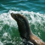 sealback2