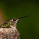 hummingbird14_01