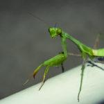 mantis02